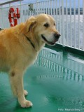 Alfa - min golden retriever